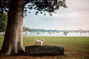 White dog on a fallen log beside a river on a calm morning walk