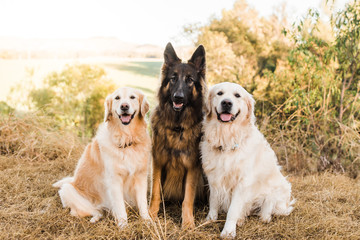 three dogs sitting obediently