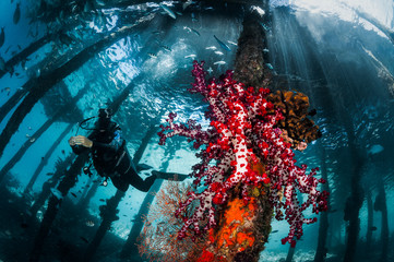 Under the Jetty, Diver and Soft Coral
