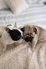 Frenchie and Pug together