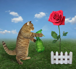 The cat gardener with garden water sprayer is watering the red rose on the farm.