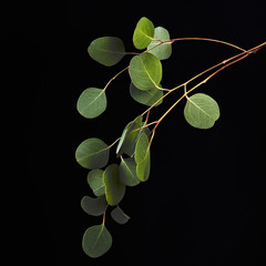 Green eucalyptus leaves on branch isolated on black background