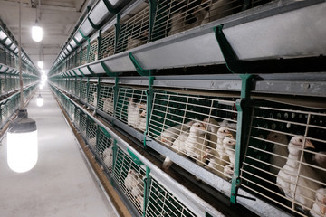 The egg-laying chickens are enclosed in cages on the chicken farm. Egg production factory. Shop with rows of green bird cages.