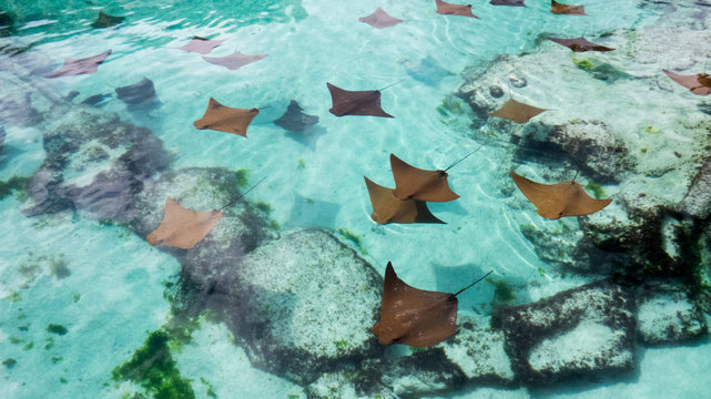 A lot of young sting rays swimming slowly in the warm water of Nassau in the Bahamas.