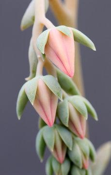 Pastel echeveria succulent flower. Shallow focus