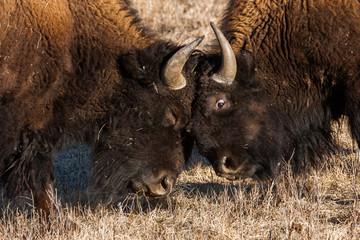 Bison sparring, Custer State Park