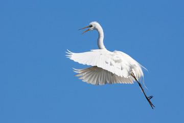 Egret in flight, St. Augustine