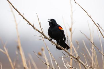 Red winged blackbird chirping, Missouri