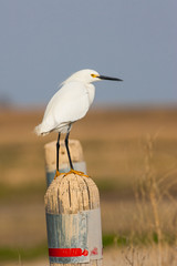 Snowy Egret on fence post