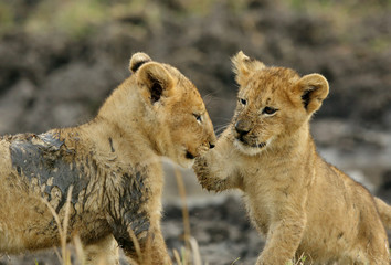 Lion cubs playing in Savannah in the evening hours at Masai Mara, Kenya Wall mural