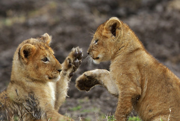 Wall Mural - Lion cubs playing in Savannah in the evening hours at Masai Mara, Kenya