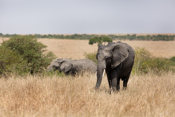 African elephants grazing at Masai Mara, Kenya Wall mural