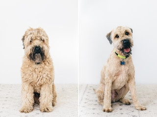 Dog before & after being groomed