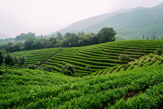 scenic view of Chinese tea field