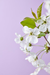 Cherry Blossom with white flowers and green leaves on pink background with soft focus. Sakura season Background.