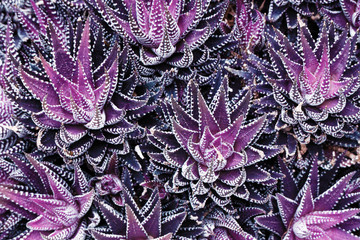Infrared: Abstract haworthia succulent plant leaves