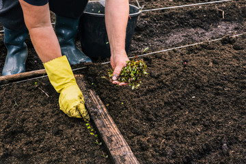 Planting young plants in the ground. A farmer is planting seedlings in a greenhouse. Work on the plantation for the cultivation of cranberries. He is wearing a yellow glove. Hand holding green sprouts