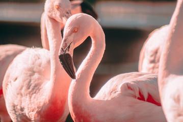 Fancy Flamingo Closeup
