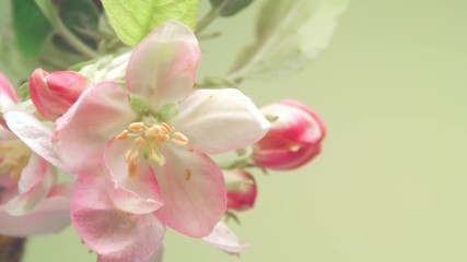 Fotoväggar - Apple spring flowers opening. Beautiful apple tree blooming closeup. Time lapse of fresh white blossoming apples. Timelapse 3840X2160 4K UHD video footage