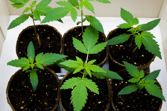 Young Cannabis Plants - also known as Marijuana. Containing psychoactive chemical THC, as well as other cannabinoids.