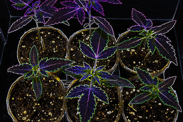 Young Cannabis Plants - also known as Marijuana. Neon filter