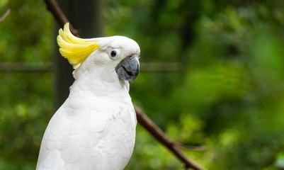 Portrait of Yellow-crested Cockatoo, Thailand Fotoväggar