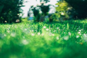 Eine Gänseblumen Wiese im Frühjahr. Umrahmt von einem Bokeh aus saftigen Grün. Ein Hintergrund aus Bäumen und Sträuchern in einem cremigen Bokeh.