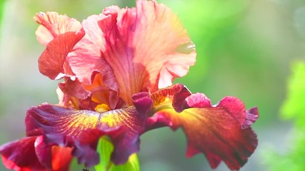 Fotoväggar - Iris flower blooming in a garden. Beautiful brown with yellow colour Iris flower growing closeup. Slow motion. 3840X2160 4K UHD video footage