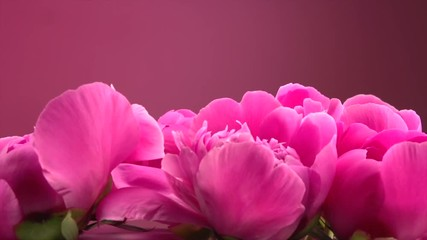 Fotoväggar - Beautiful pink peony flowers opening. Blooming bouquet of peony flowers opening closeup. Timelapse 4K UHD video footage. 3840X2160
