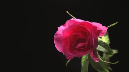 Fotoväggar - Beautiful dark purple rose flower open on black background. Blooming red rose flowers opening closeup. Blossom closeup. Timelapse 4K UHD video footage. 3840X2160