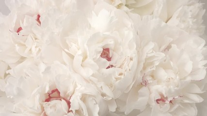 Fotoväggar - Beautiful white peony flowers opening. Blooming bouquet of peonies opening closeup. Timelapse 4K UHD video footage. 3840X2160