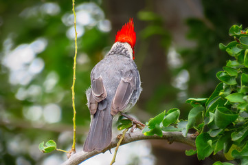 Red-crested cardinal bird seen from the back, its mitre-like crest popping up, grey wings and feathers, Kauai, Hawaii, USA