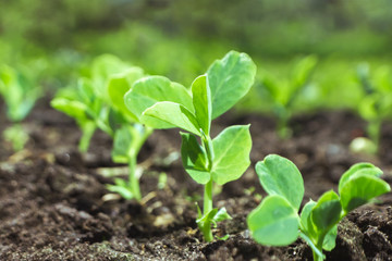 Fototapeta Young pea sprouts in a sunny vegetable garden obraz