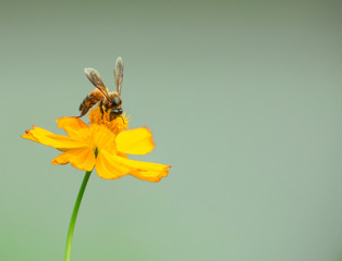 Bee on a yellow cosmos flower with soft green background for copy space