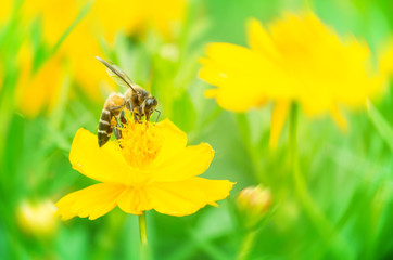 Bee find honey on a yellow cosmos flower with soft nature background