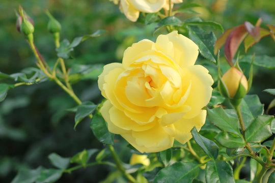 Beautiful yellow rose in the garden.