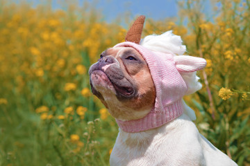 5e830928 Funny red pied colored French Bulldog dog dressed up with funny pink  unicorn wool hat in
