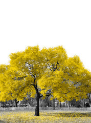 Big yellow tree in black and white landscape