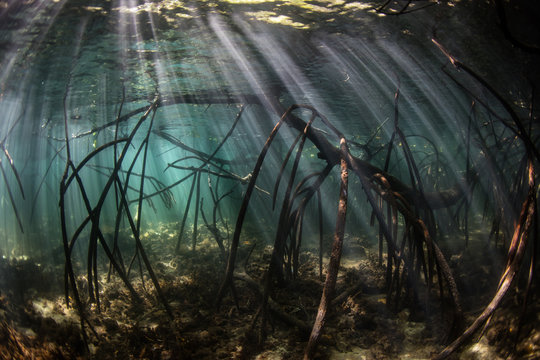 Sunlight filters down into a shadowed mangrove forest growing in Komodo National Park, Indonesia. This tropical area is known for its incredible marine biodiversity as well as its infamous dragons.