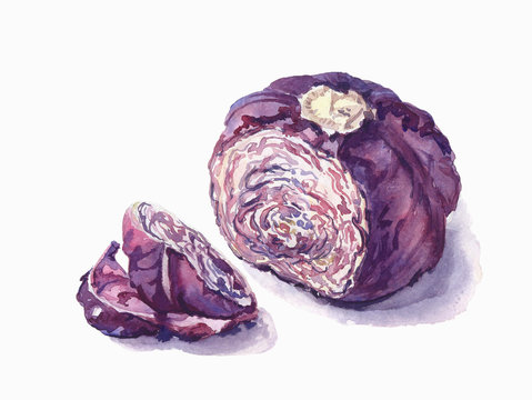 The red cabbage. Hand drawn. Watercolor sketch