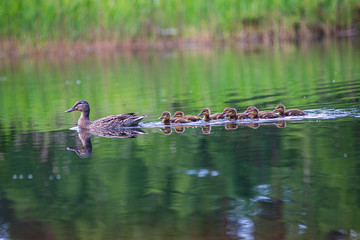 duck mama with ducklings swimming in lake in formation Wall mural