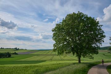 Walnussbaum, Echter Walnuss im Frühsommer
