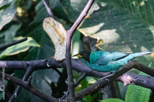 Colorful bird of the rain forest feeding in a bird sanctuary