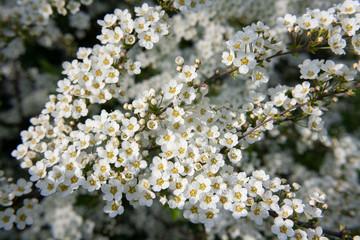 Krzew tawuły szarej (Spiraea cinerea) pokryty białymi kwiatami