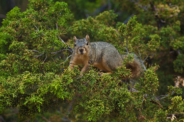 Cute California Grey Squirrel looking at camera from his perch in an evergreen pine tree in Los Angeles
