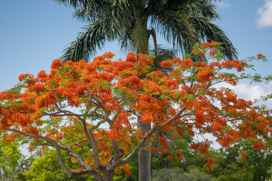 Photo of a Royal Poinciana Tree in full bloom south florida