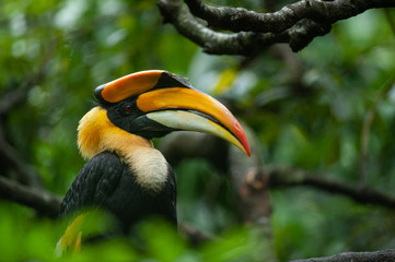 Great hornbill on a close up picture. A rare colorful bird species with large and strange beak, that occures in tropical Asia.