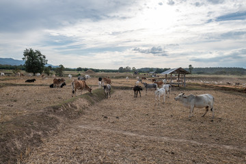 Foto op Canvas Schapen A group of cattle in the dry rice field, Nan province, Thailand
