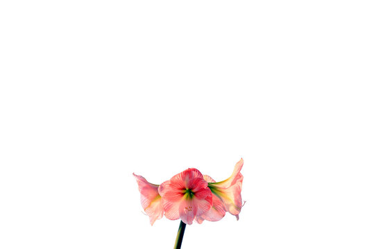 Amaryllis flower blooming on white background with empty space