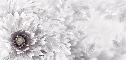 Floral black-white beautiful background.  Flowers and petals of a white-red dahlia. Close-up. Flower composition. Greeting card for the holiday. Nature.